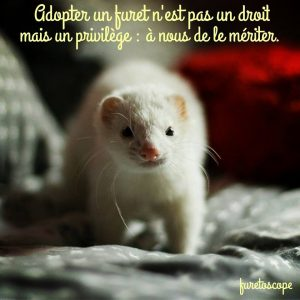 le furet un animal fragile