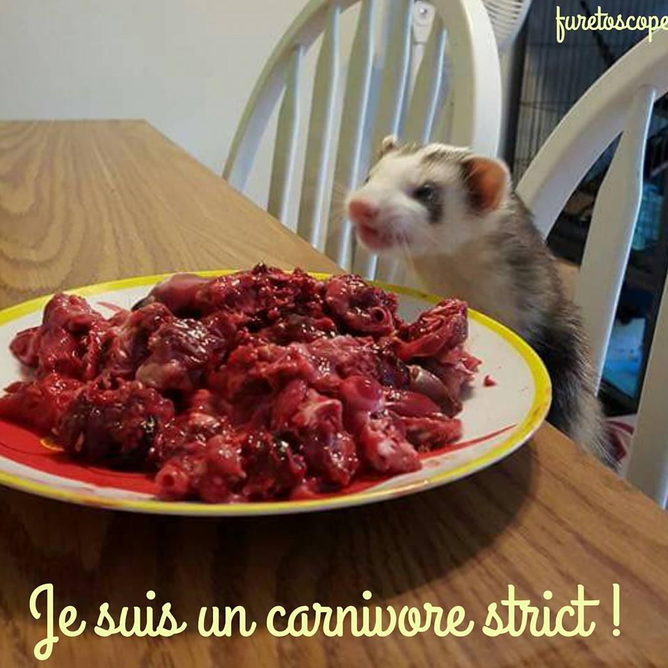 le furet mange de la viande