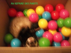 furet heureux en pension