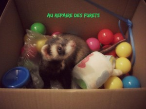 furet qui joue en pension