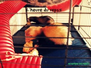 furets qui mangent dans leur cage