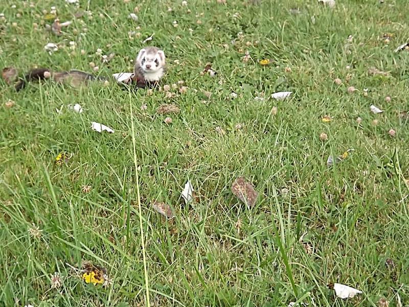 furet en promenade dans l'herbe