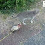 furet qui suit le chat en balade