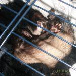 Bandit qui dort dans sa cage pour furet
