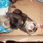 Bandit le furet qui se couche dans les sacs plastiques