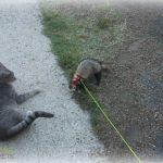 furet qui joue avec le chat à l'extérieur