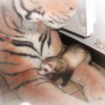 un furet dans les pates du tigre