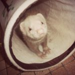 furet dans un tunnel a chat