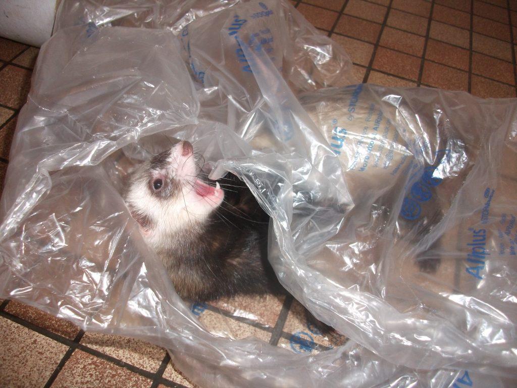 furet qui joue dans un sac plastique