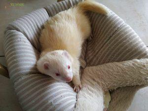 Furet albinos de gros gabarit