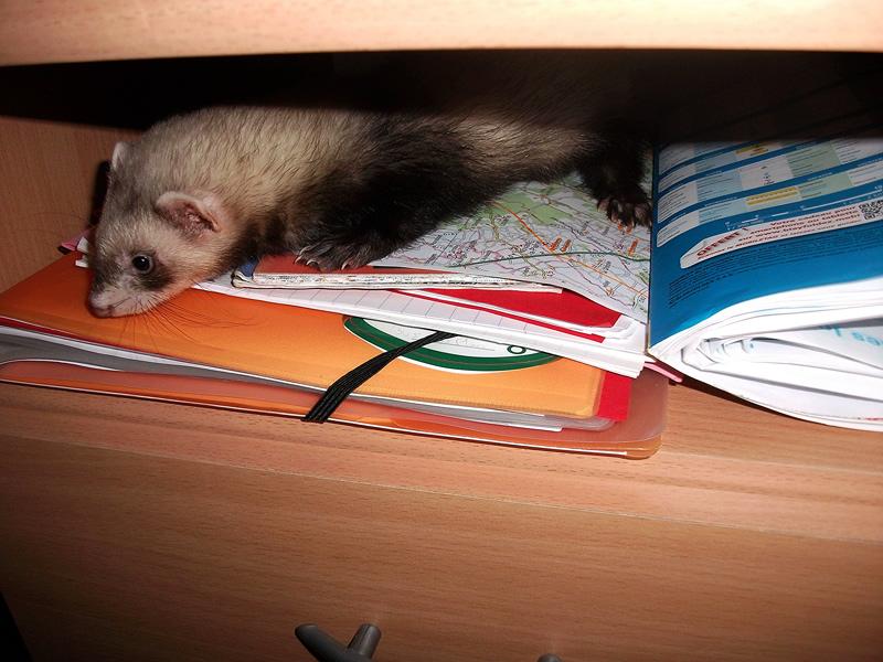 Furet grimpé sur un bureau