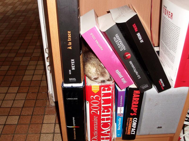 furet qui joue dans une bibliothéque