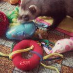 lot de jouets pour chaton et furet
