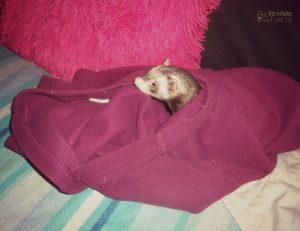 furette qui dort dans un pull polaire