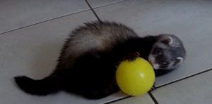 Milky adore jouer avec ses balles