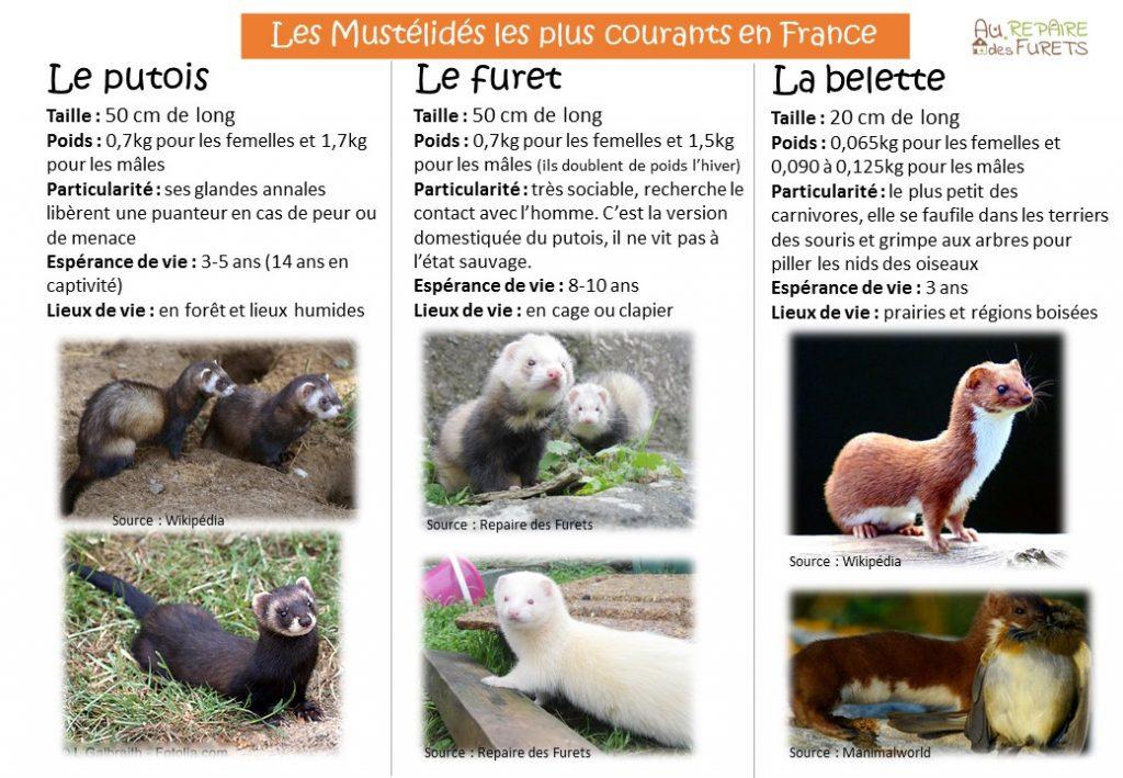 Fiche Infos : Mustélidés