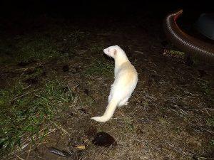 furet albinos au refuge du repaire des furets
