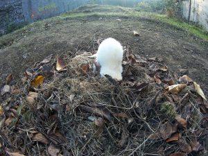 furet qui joue dans les feuilles à l'automne