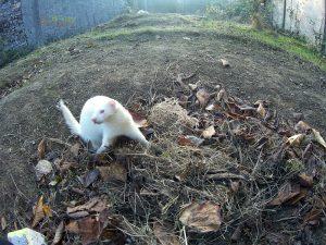 furet albinos qui joue dans les feuilles d'automne