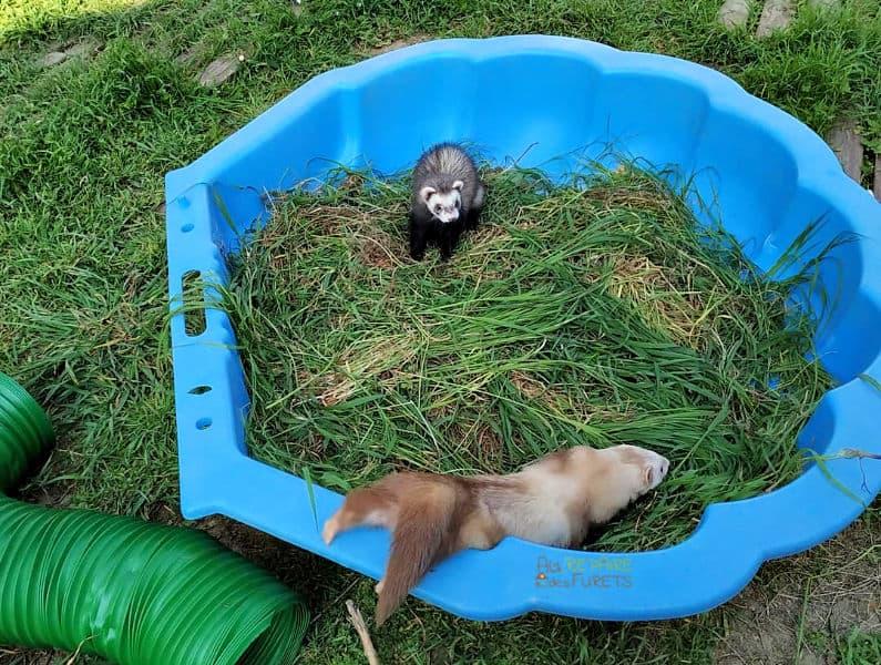 piscine d'herbes pour les furets