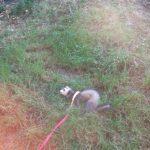 furet qui se roule dans l'herbe avec sa laisse
