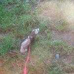Bandit le furet en promenade dans l'herbe