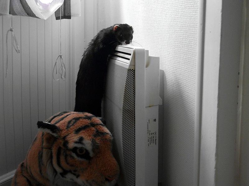 furet qui grimpe au radiateur