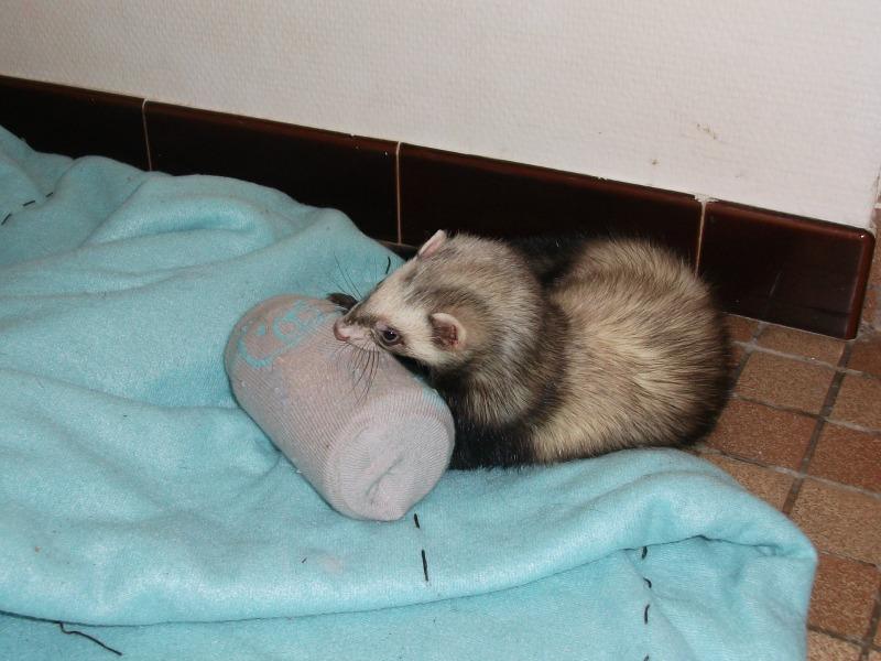 une cannette dans une chaussette pour ma furette