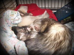 3 furets qui dorment n'importe comment dans leur cage