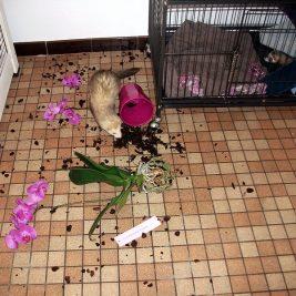 furet qui a renversé un pot de fleurs
