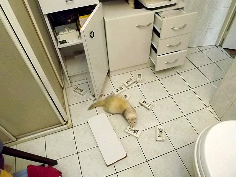 Furet qui fait le ménage dans la salle de bains