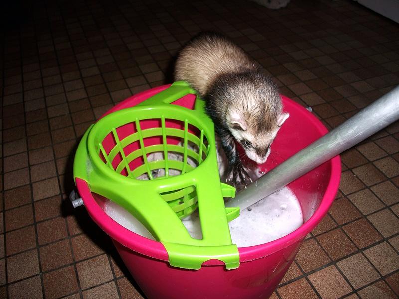 furet qui veut jouer avec l'eau du serpillage