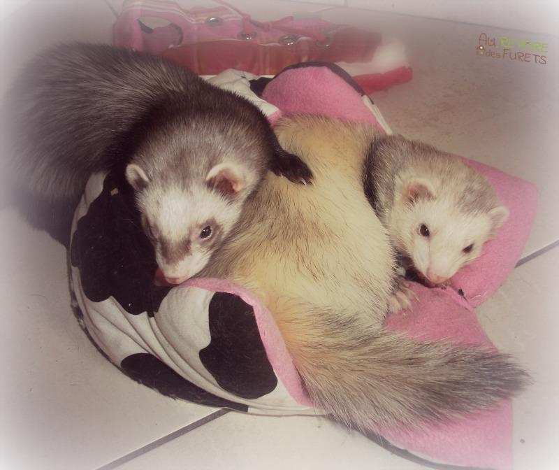 Rejoindre le Réseau de Petsitters pour Furets